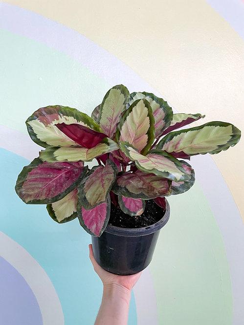 Calathea Rosy