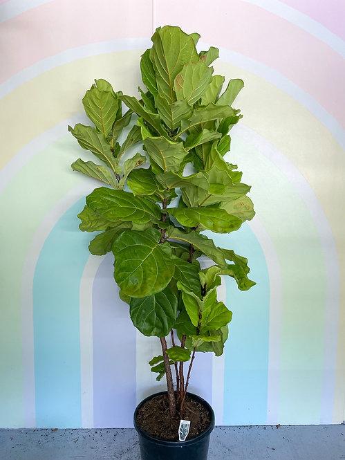 Fiddle Leaf Fig - XL