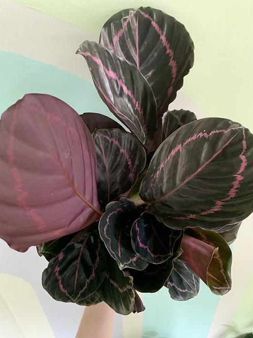 Calathea Illustris