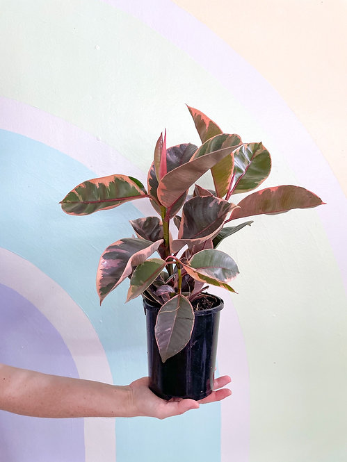 Ficus Elastica Ruby - Small