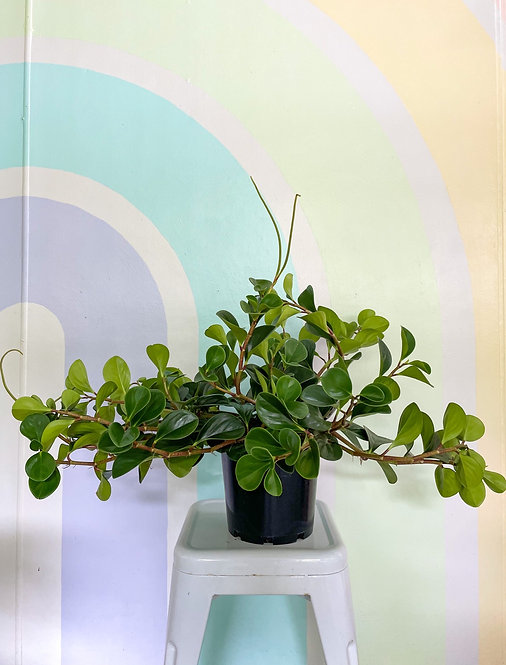 Peperomia Jade - Tendrils