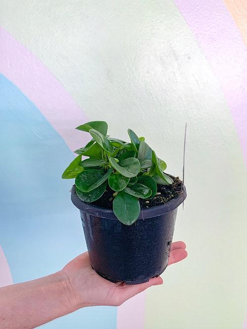 Peperomia Jade - Small