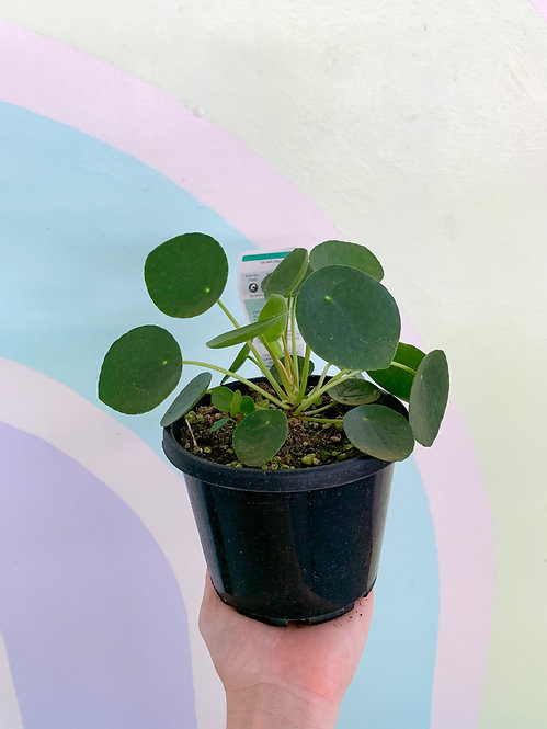 Pilea (Chinese Money Plant) Sml