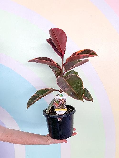 Ficus Elastica Ruby - Medium