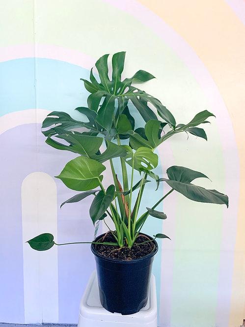 Monstera Delicosa - Large