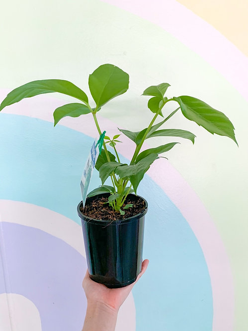 Umbrella Plant - Small