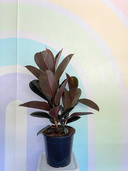 Ficus Burgundy - Large