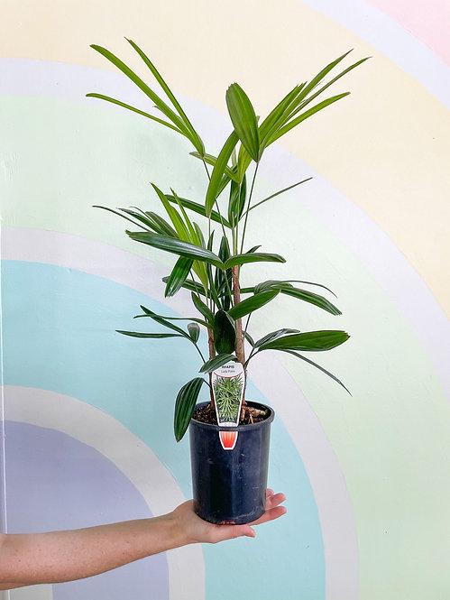 Rhapis Palm - Small