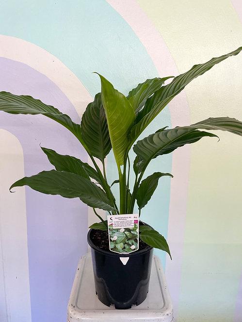 Spathipyllum - Maracay Lily