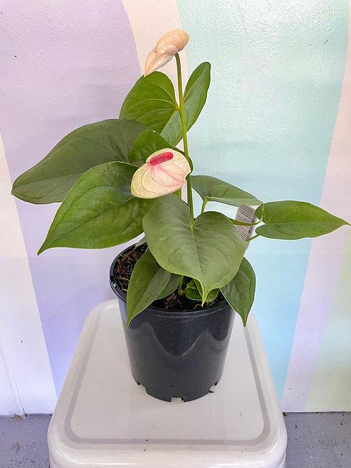Anthurium White Dove