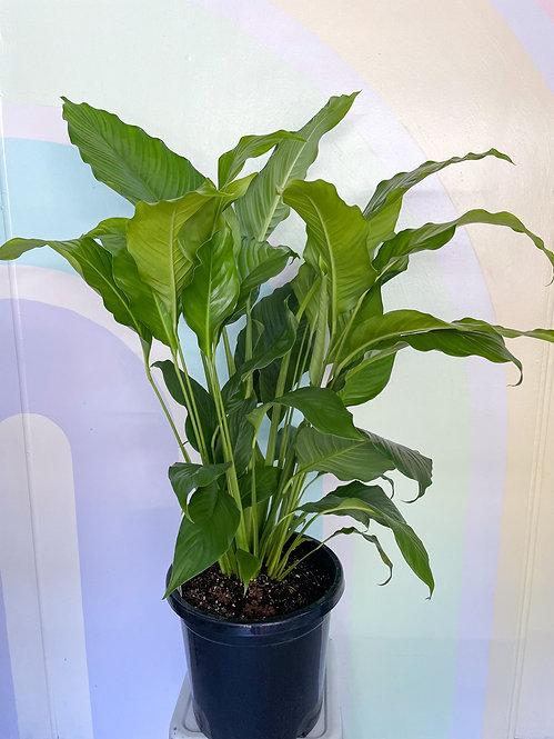 Spathiphyllum - Sweet Sebastiano Lily Large