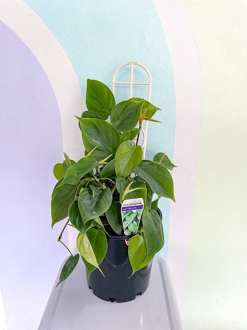 Philodendron Cordatum