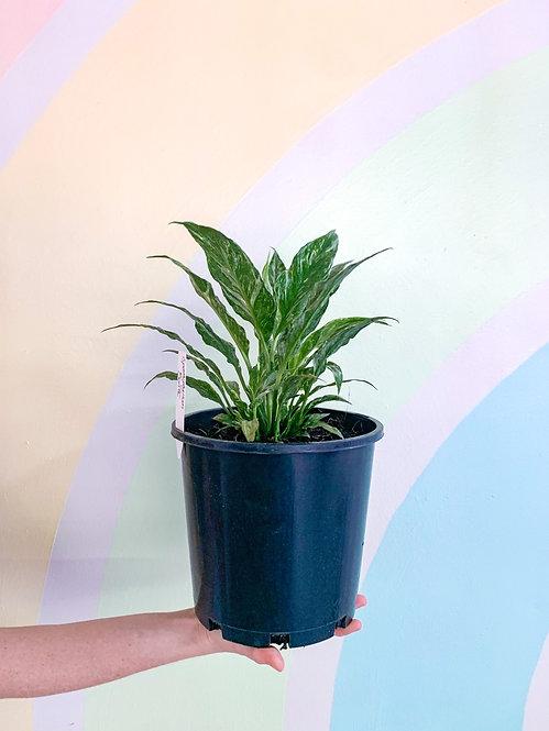 Domino Lily