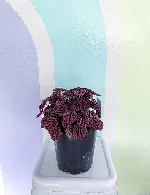 Peperomia Burgundy Ripple