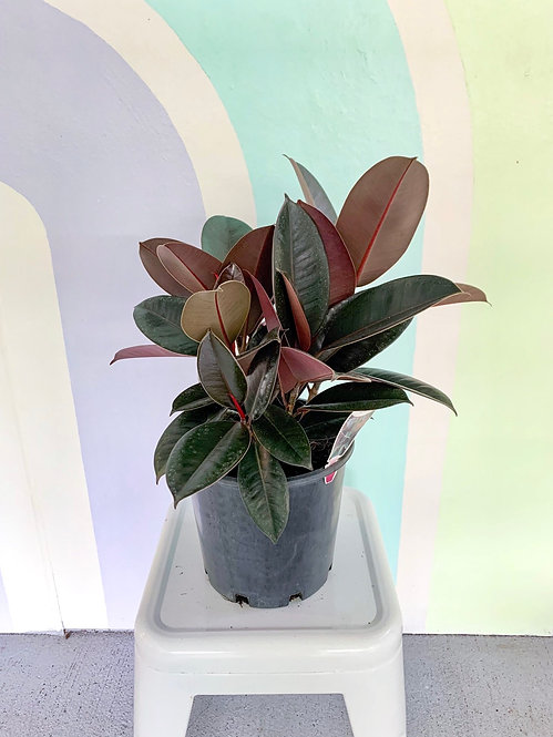 Ficus Burgundy - Small