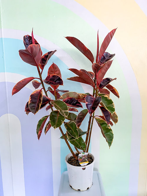Ficus Elastica Ruby - Large