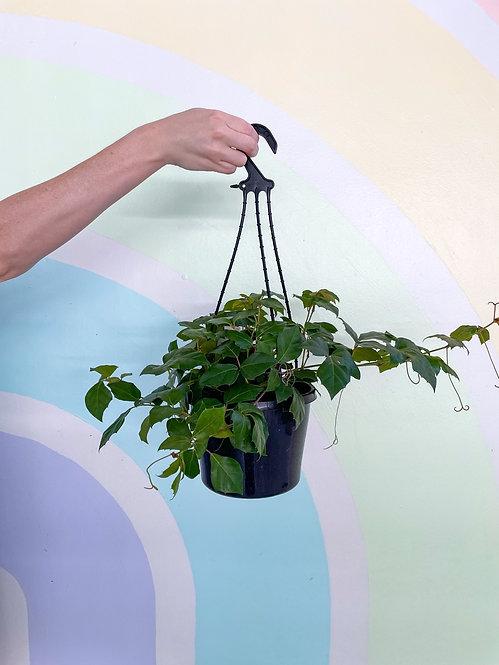Grape Ivy - Cissus Rhombifolia