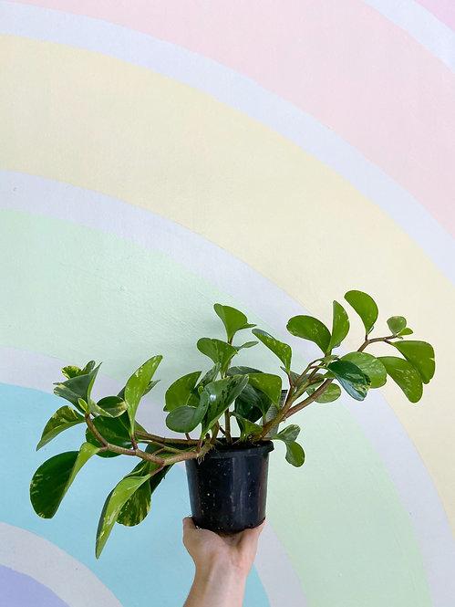 Peperomia Obtusifolia Marble