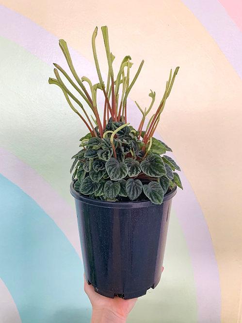 Peperomia Lillian