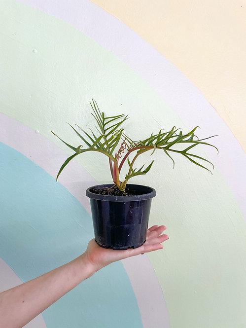 Philodendron Bipinnatum