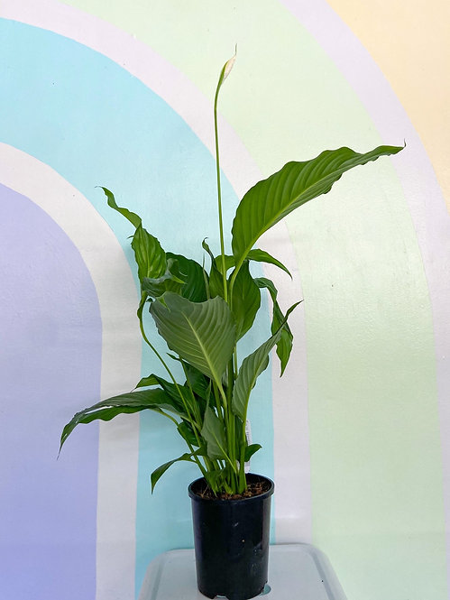 Spathiphyllum Pablo (Peace Lily)