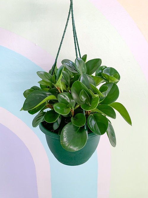 Peperomia Jade - Hanging