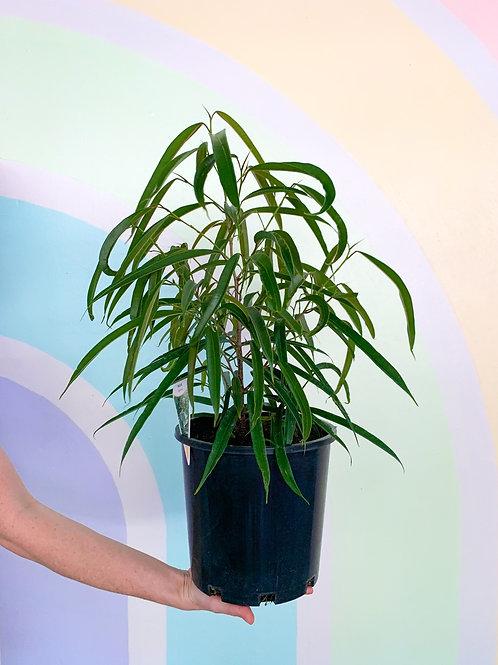 Ficus Longfolia Ahlii