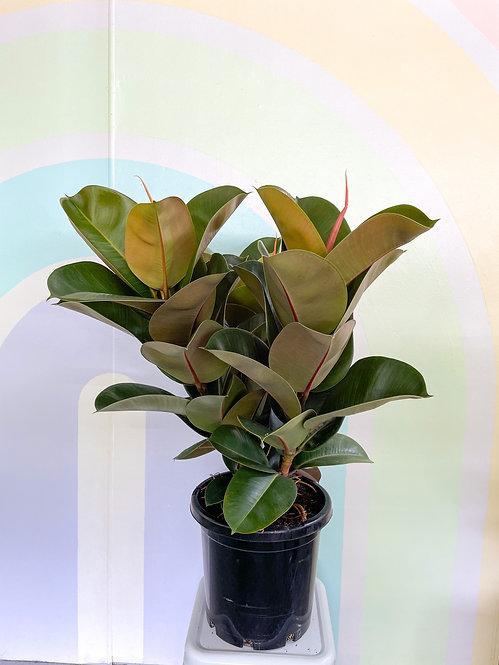 Ficus Elastica Sofia