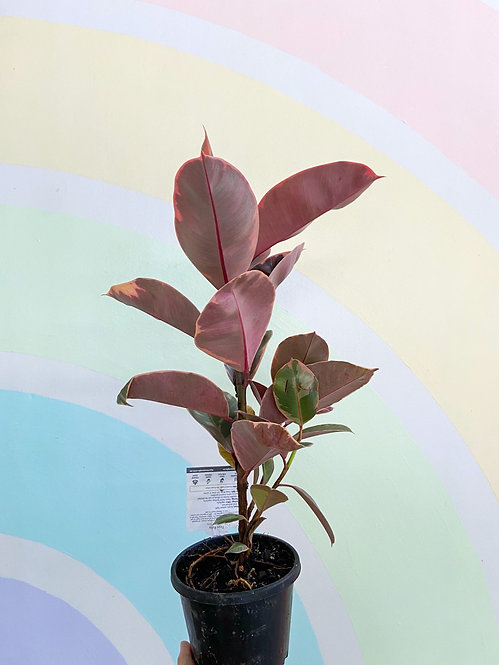 Ficus Elastica Ruby - Small