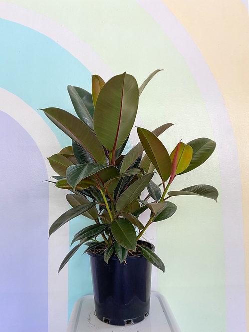 Ficus Elastica Decora Green