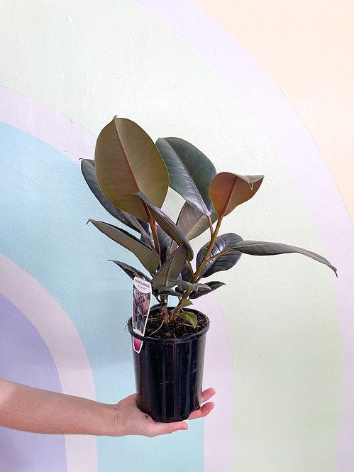 Ficus Burgundy - Small