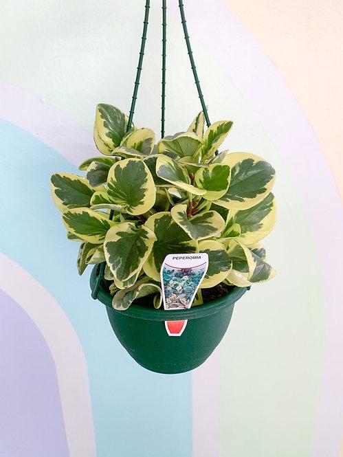 Peperomia Albo Marginata - Hanging