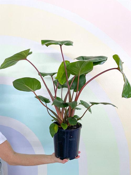 Homalomena Rubescens