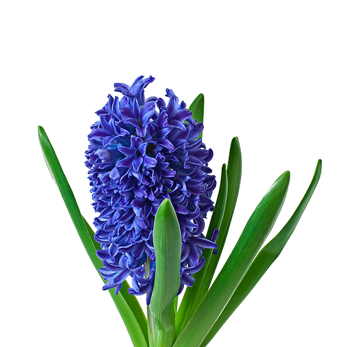 Hyacinth - 8 inch pot