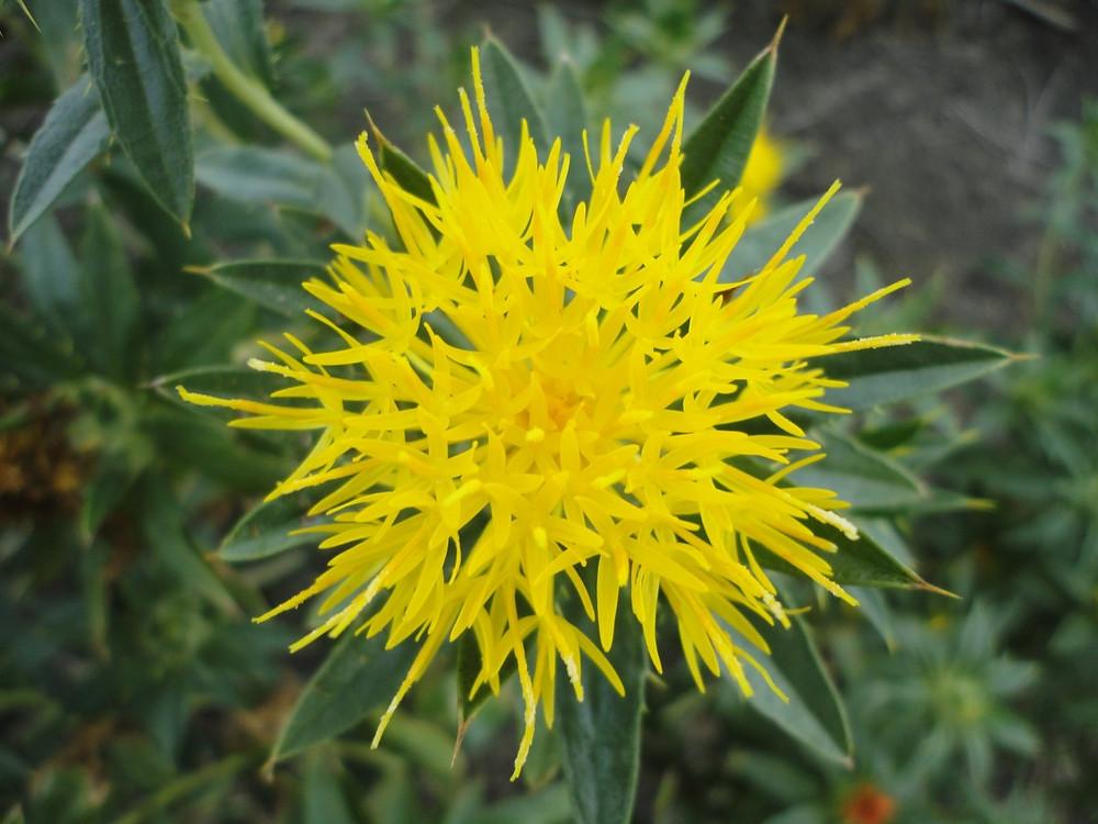 American Saffron flower Safflower