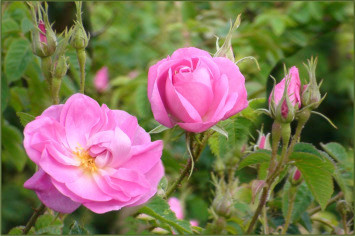 Edible Rose Petals: How to Use and their Benefits