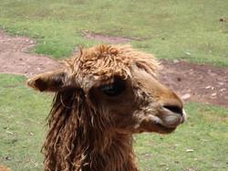 Lama face