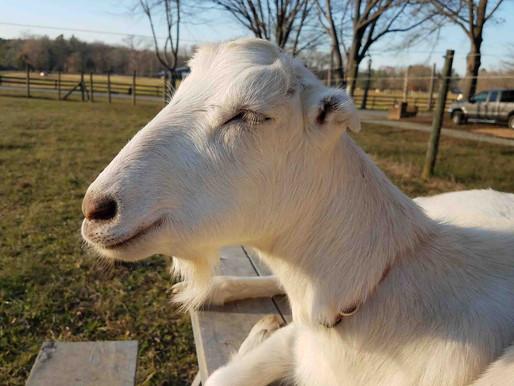 Goat Wisdom