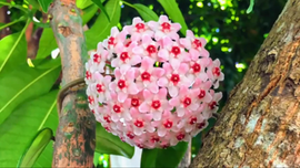 繡球花.png
