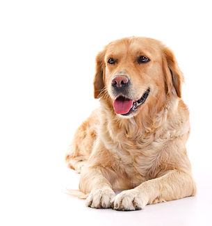 golden retriever dog laying over white b