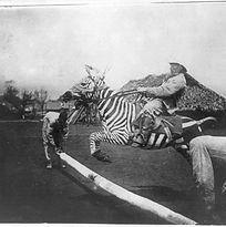 800px-Zebra-tame-jumping.jpg