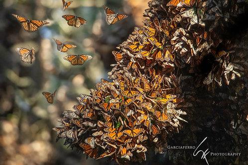 Michoacán: Mariposa Monarca