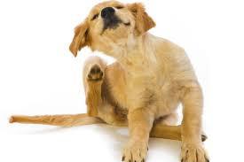 Principales parásitos externos en perros y gatos.