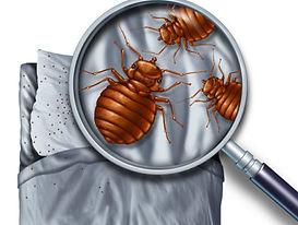 bigstock-Bed-Bug-Infestation-97017743-41