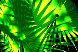 fan palm8