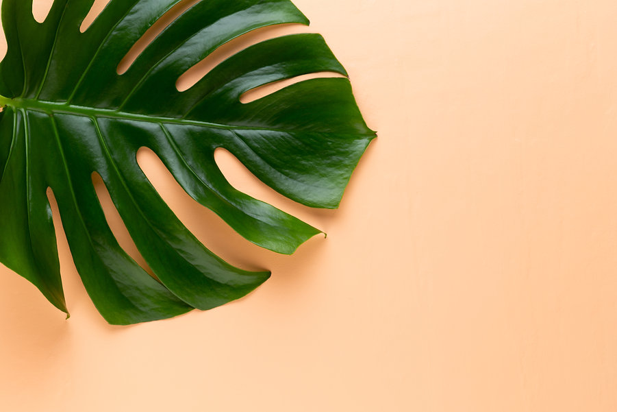 tropical-jungle-leaf-monstera-resting-on