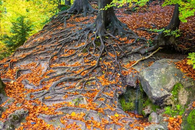 Tree roots spreading down a rock hillside
