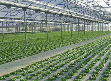 5.2 hectáreas más de invernaderos