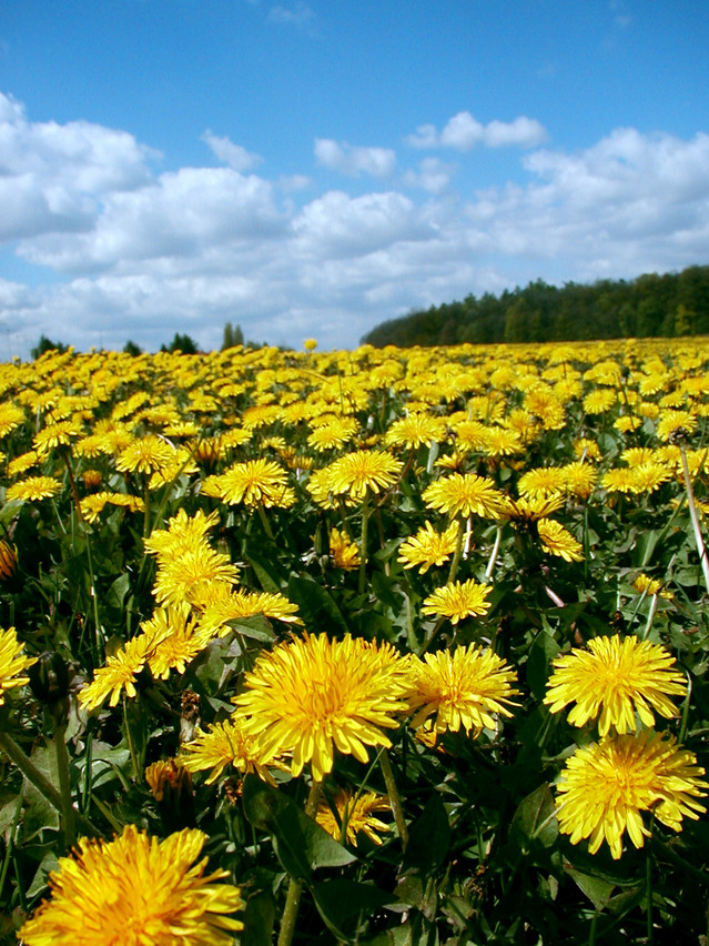 field of dandelions near Sanctuary Christian Counseling in Shippensburg PA