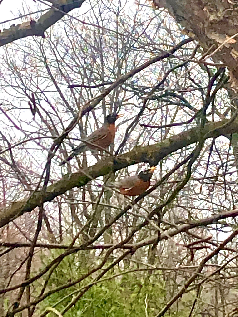 Two robins in a tree outside a window near Sanctuary Christian Counseling in Shippensburg, PA